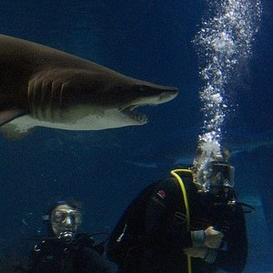 Shark swimming with Scuba Diver