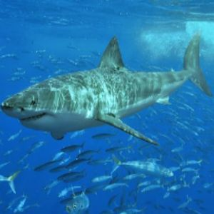 Great White Shark swimming with fish.